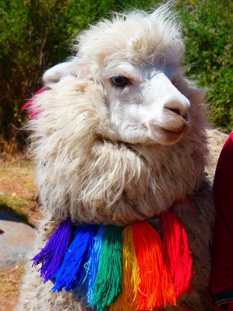 Sexy lama